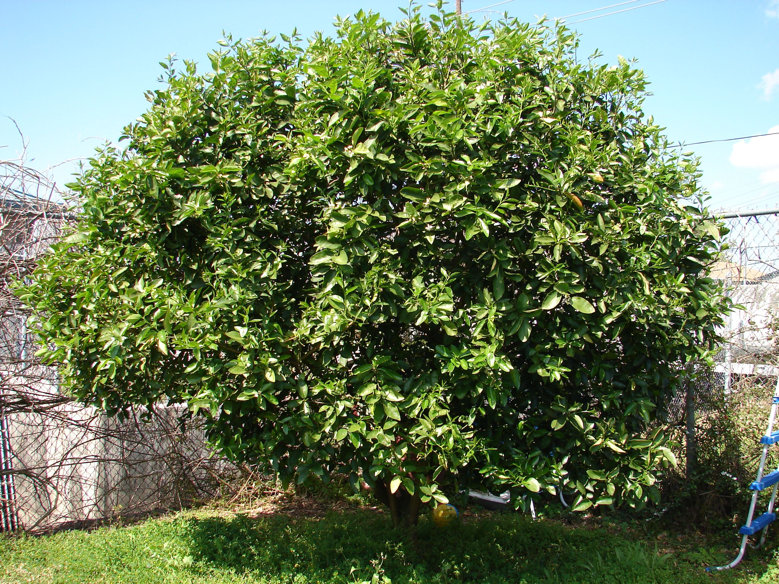 key mature photo lime tree