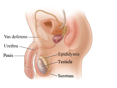 images scrotum of and penis