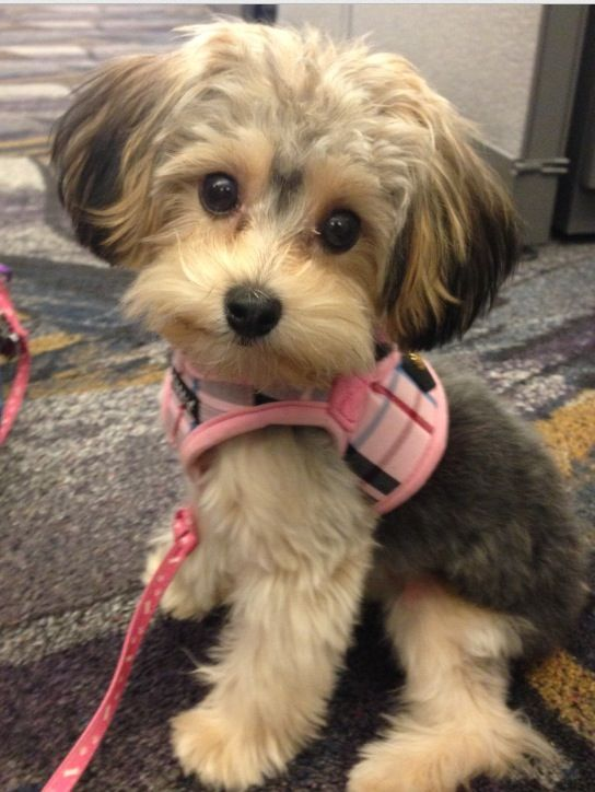 picture poo adult yorkie